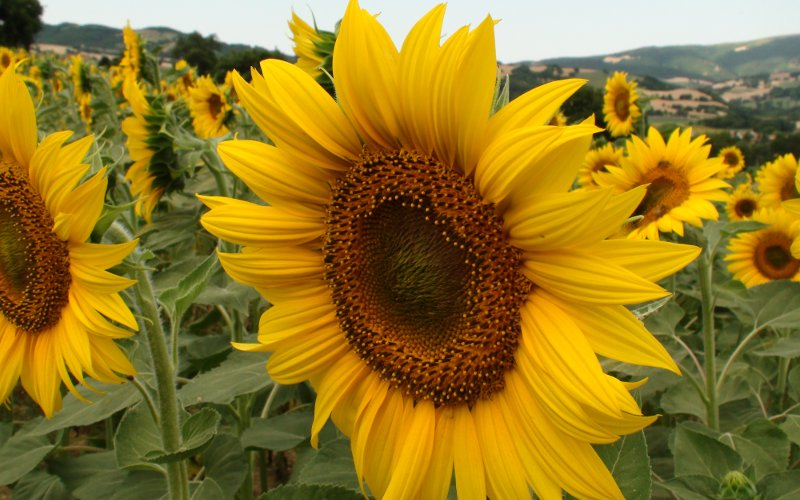 girasole in primo piano