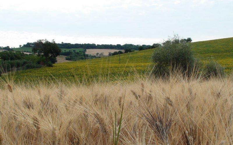 campo di grano con sullo sfondo dei girasoli